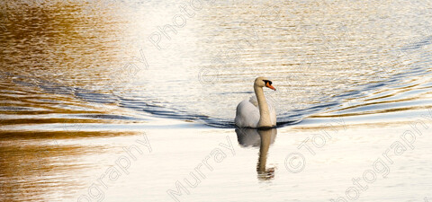 TGM-1030 SwanSwimming 30x14 