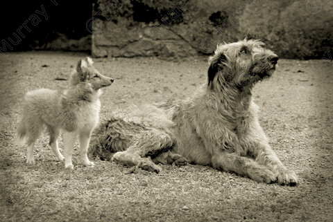 TGM-0017 Wolfhound Pup-12x8 